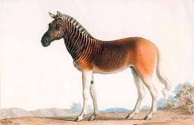 this a extinct south african quagga