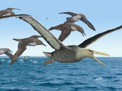 Scientists Reveal What May Be the Largest Flying Bird Ever